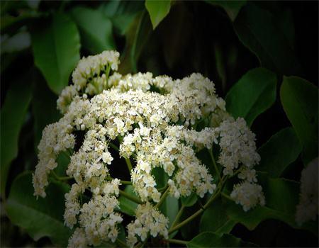 石楠花的虫害