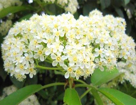 石楠花的美白作用
