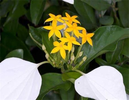 玉叶金花的播种