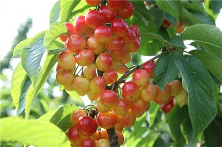 樱桃盆栽怎么种图片