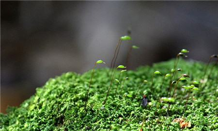 苔藓植物发黄或者发白