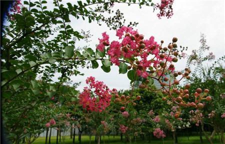 红云紫薇扦插使用枝条