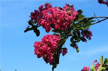 红云紫薇的肥水管理