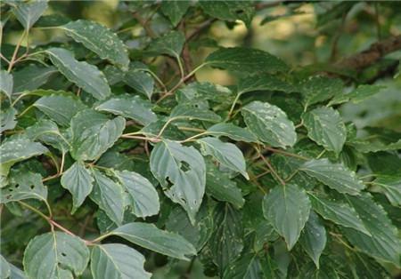 毛梾木的种子处理