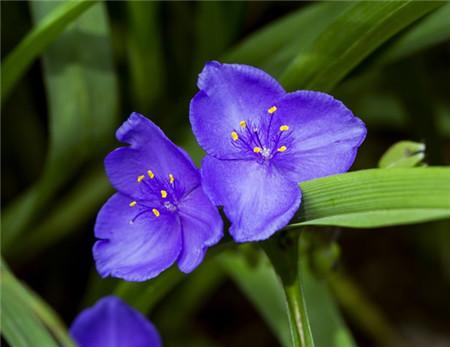 紫露草扦插操作规程