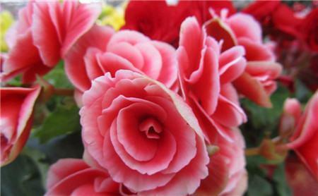 海棠花花盆的选用