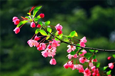 海棠花的土壤选用