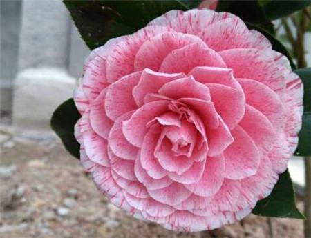 盆栽茶花的用土原则