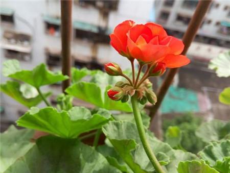 天竺葵是因为高温而黄叶