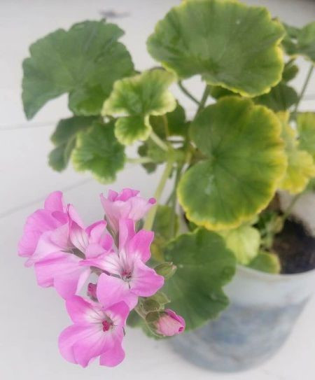 天竺葵因为病虫害而黄叶