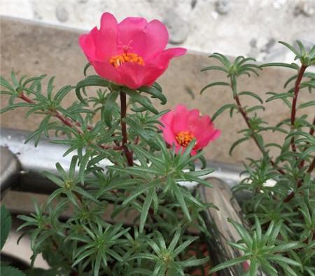 太阳花从花盆移到新的花盆