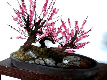 清香木盆景怎么养_梅花盆景的制作类型 – 花百科