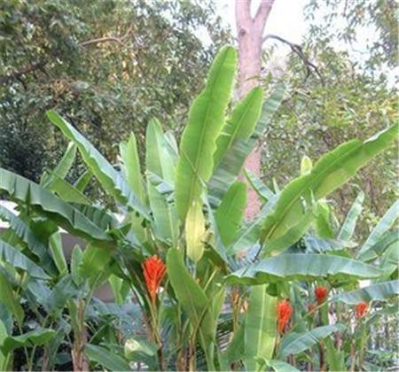 红花蕉的分株繁殖
