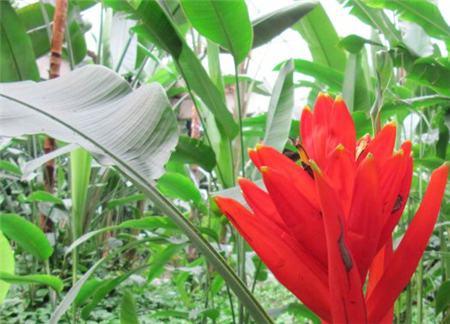 红花蕉的粉虱虫害