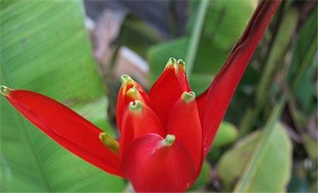 红花蕉的斑枯病