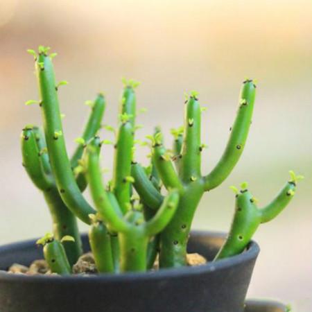 多肉光棍树有毒吗_有毒的多肉植物有哪些 - 花百科