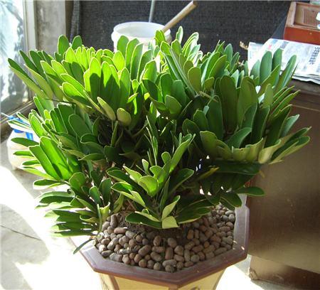 墨西哥铁树