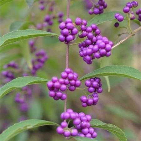 富贵竹有什么作用_紫珠草的功效和作用 - 花百科