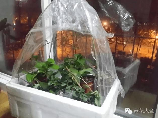 泡沫箱当冬天养花温室