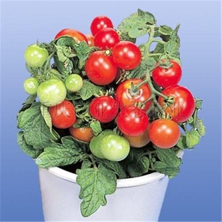 樱桃番茄盆栽