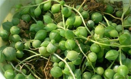 珍珠吊兰扦插土壤的配制