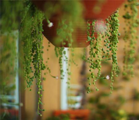 珍珠吊兰扦插插条的选择与保存