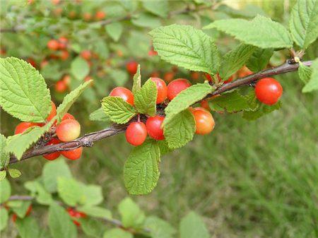 毛樱桃的瘤蚜虫防治