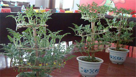 阳台盆栽西瓜土壤选择