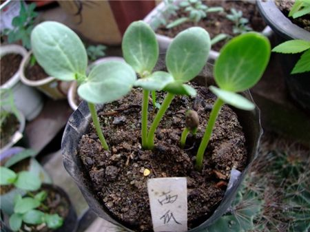 西瓜种植的选择
