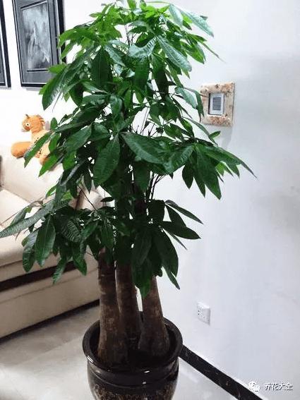 如何给发财树施肥