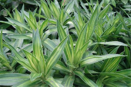新买的百合竹掉叶正常