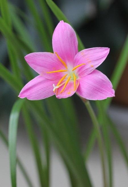 韭菜莲的冬季养殖方法