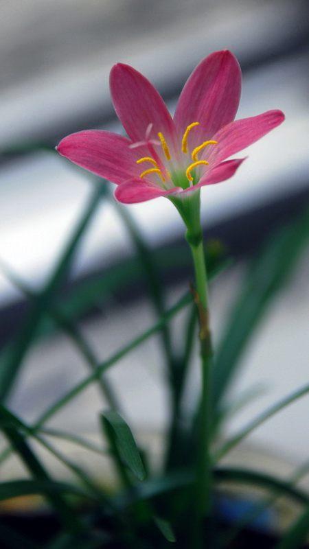 促进韭菜莲开花的小妙招