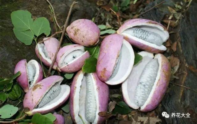 八月瓜(野香蕉)