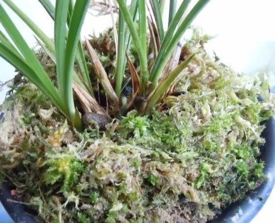 4.把兰花根部用水苔包裹起来,放进花盆。