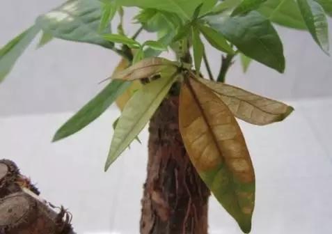 花花的发财树一般大半月才浇一次水,花友们要根据自己的养护状况,以花花为参考,确定自己的浇水频率,如果是南方花友,温度比较高的话,可以适当增加浇水频率。