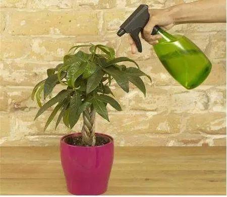 小发财树不宜用大盆、深盆。