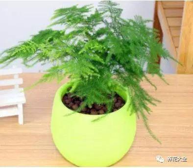 文竹不喜欢阳光直射,却也不能过分荫庇,应放在室内通风明亮的环境里,花花大约给自己的文竹4-6天浇一次水。
