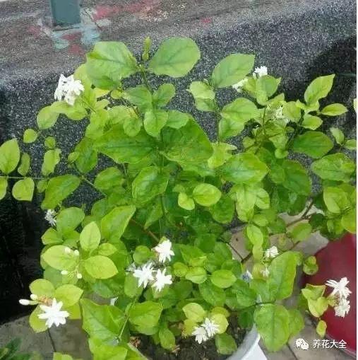 都说茉莉越晒开花越香,茉莉的生长需要充足的阳光,最好把它放在光线好的阳台上。