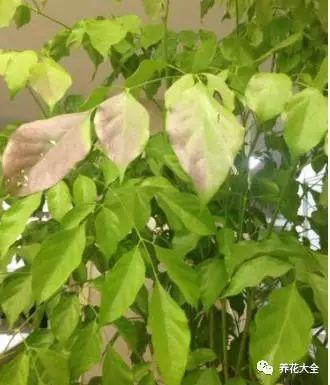 淘米水呈弱酸性,含有营养,可以缓解幸福树因为营养缺乏而产生的黄叶。