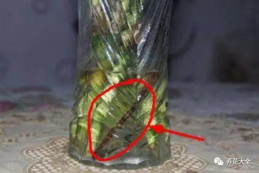 (2)富贵竹换水后,把铁钉扔入水培瓶中。