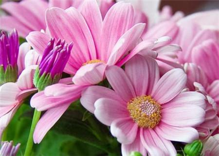 瓜叶菊的花期