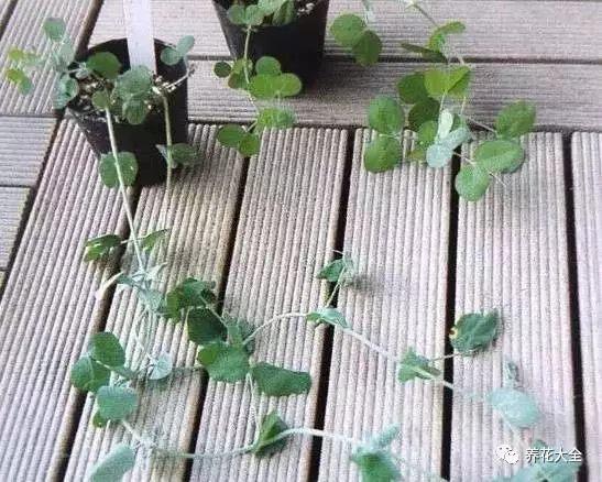 浇水浇透,放在散光通风的地方,大约半个月左右,豌豆就会发芽。