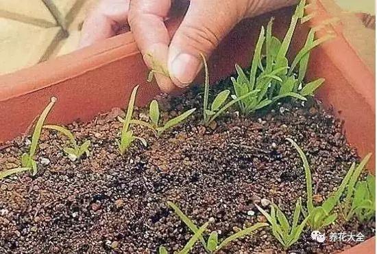 浇水浇透,把花盆放在散光通风的地方,大约1周左右,种子就会发芽。