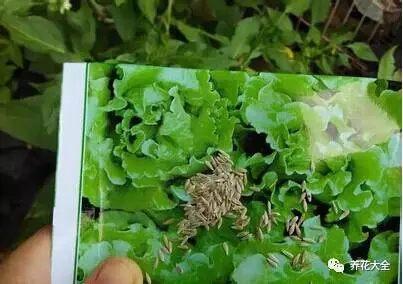 生菜是要用种子种的,注意不要用过期的种子,这样的种子发芽率低。