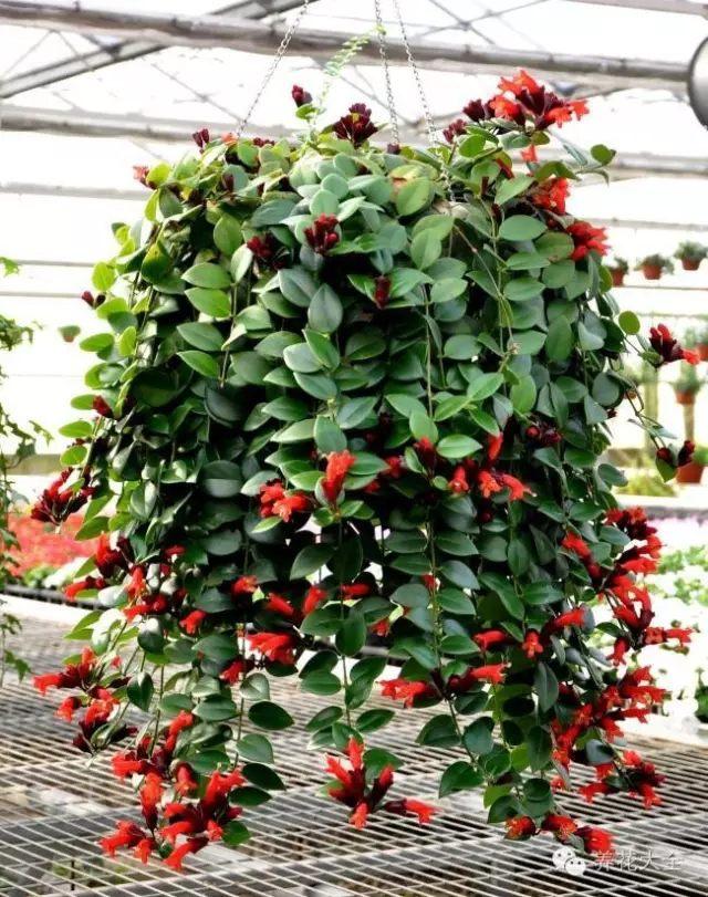 口红吊兰因花朵艳红而得名,它和吊兰的生长习性有些像,很好养,喜欢室内半阴的环境。