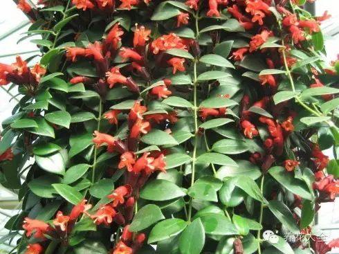 口红吊兰喜水,现在2-4天就要浇一次水,最好每天喷雾。