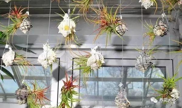 空气凤梨不需要土,挂起来就可以养,时间长了,它自己就垂下来长成窗帘瀑布了。如果没有耐心,可以多养几株,然后用绳子挂起来。