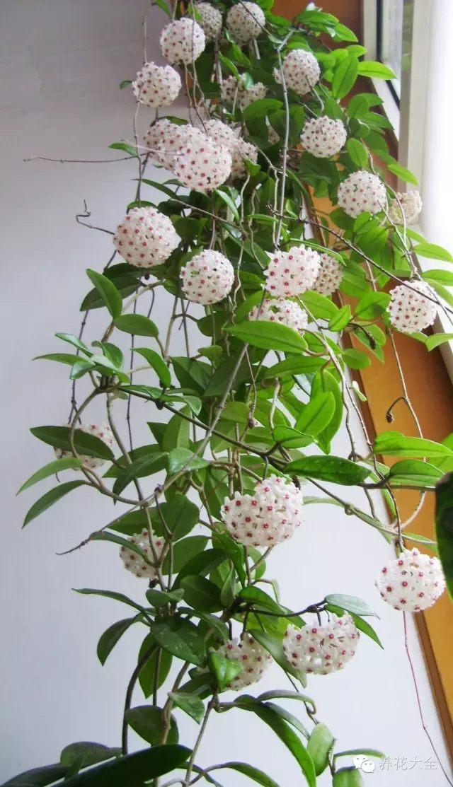球兰喜欢湿润的环境,养在高处让它垂吊下来,很容易就能在室内养成一面花墙。