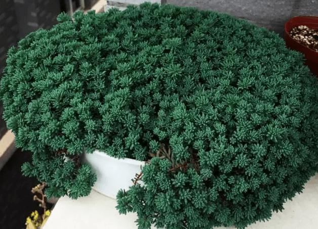 薄雪万年草
